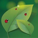 Familie von Marienkäfern auf zwei Blättern Stockfotos