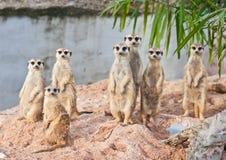 Familie von Meerkats Lizenzfreie Stockbilder