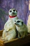 Familie von Meerkats Lizenzfreie Stockfotografie