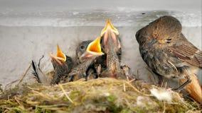 Familie von Nachtigallen in einem Nest stock video footage
