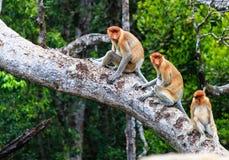 Familie von Nasenaffen in einem Baum Stockbilder