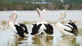 Familie von Pelikanen Lizenzfreies Stockbild