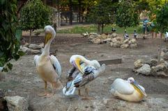 Familie von Pelikanen in der Gefangenschaft, auf dem Gebiet des Zoos Stockfoto