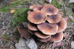 Familie von Pilzen auf dem Gras im Wald lizenzfreie stockfotos