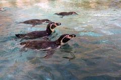 Familie von Pinguinen, die schwimmen Lizenzfreie Stockfotos