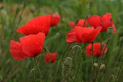 Familie von roten Mohnblumen Stockfotos