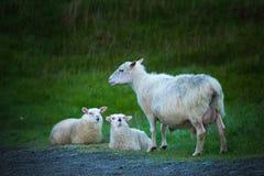 Familie von Schafen lizenzfreies stockbild