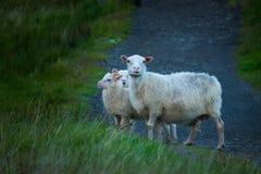 Familie von Schafen stockfotos