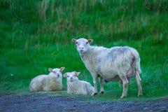 Familie von Schafen in Nationalpark Skaftafell lizenzfreie stockfotos