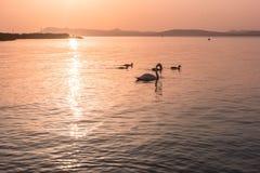 Familie von Schwänen bei Sonnenuntergang auf dem See Lizenzfreie Stockbilder