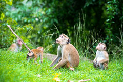 Familie von Toquemakakenaffen im natürlichen Lebensraum in Sri Lanka Stockfotos