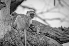 Familie von Vervet-Affen, die in einem Baum sitzen Lizenzfreie Stockfotografie