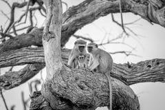 Familie von Vervet-Affen, die in einem Baum sitzen Lizenzfreie Stockfotos