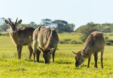 Familie von waterbuck Lizenzfreies Stockfoto