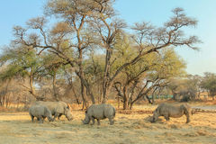 Familie von weißen Nashörnern in der Gefahr Lizenzfreie Stockfotos