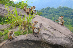Familie von wilden Affen auf der Leiste Stockbild