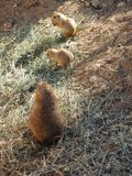Familie von wilden Nagetieren auf der Suche nach Nahrung lizenzfreie stockbilder