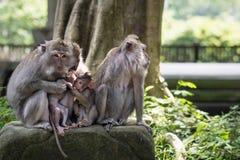 Familie von wilden Rhesusaffen in Ubud, Bali, Indonesien Stockfotografie
