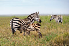 Familie von Zebra stockbild