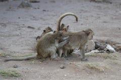 Familieaap die elkaar, het helpen die, het verzorgen lousing, vlo, tik, symbool vinden van het dierlijke het wild geven Stock Fotografie