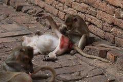 Familien-Affe, der, helfend lousing ist und pflegen sich und finden Floh, Zecke, Symbol der Tierpflege der wild lebenden Tiere Lizenzfreie Stockfotos