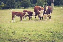Familien-Kühe Stockfoto
