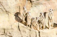 Familien-Porträt einer Gruppe von sechs Schlank-angebundener Meekats-Stellung Lizenzfreies Stockfoto