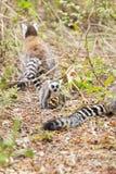 Familienring band den Maki an, der zusammen aus den Grund in Madagaskar spielt Stockfotografie