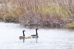 Familienschwimmen Lizenzfreie Stockfotografie