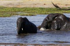 Familienspielen des afrikanischen Elefanten Stockbild