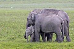 Familienszene des asiatischen Elefanten Lizenzfreie Stockfotografie