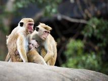 Familienwiedervereinigung von rot-gesichtigen Makakenaffen im Wald stockbilder