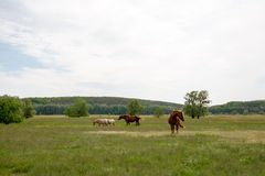 Familiepaarden op een groene weide stock foto