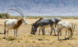 Families of antelope scimitar horn Oryx Oryx leucoryx and Somali wild donkey Equus africanus. The photo was taken in nature reserve park, Israel royalty free stock image