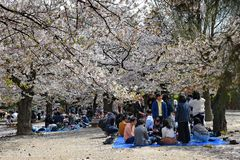 Families gathering for hanami at a park   in Japan. royalty free stock images