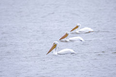 Famility of drifting pelicans Stock Photo