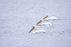 Famility von treibenden Pelikanen Stockfoto