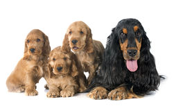 Familiy english cocker Royalty Free Stock Image