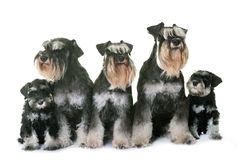 Familiy miniature schnauzer royalty free stock images