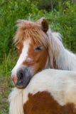 Familiy ponnyer Arkivbild