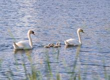 Familiy of swans with nestlings stock photo