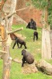 Familiy von Gorillas mit Jungem Stockbilder