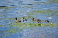 Familj av änder i sjön royaltyfri foto