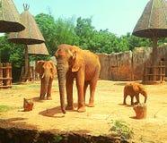 Familj av afrikanska elefanter Arkivbild