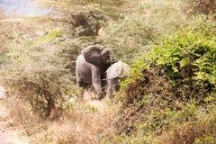 Familj av afrikanska elefanter royaltyfri fotografi
