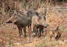 Familj av afrikanska vårtsvin som står i gräset som bevakar din grupp, Botswana Royaltyfria Bilder
