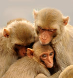 Familj av apan Fotografering för Bildbyråer