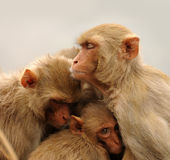 Familj av apan Arkivfoto