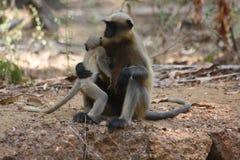 Familj av apor Indien Arkivfoto
