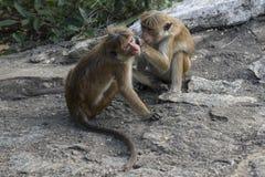 Familj av apor som tas omsorg Sri Lanka Royaltyfria Foton